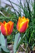 Tulpen rot-gelb