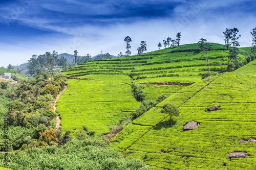 Green tea bud and fresh leaves. Tea plantations fields in Nuwara Eliya, Sri Lanka