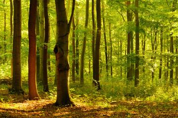 Naturnaher Laubmischwald im Sommer, stimmungsvolles warmes Morgenlicht