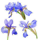 group of blue iris bloom isolated on white