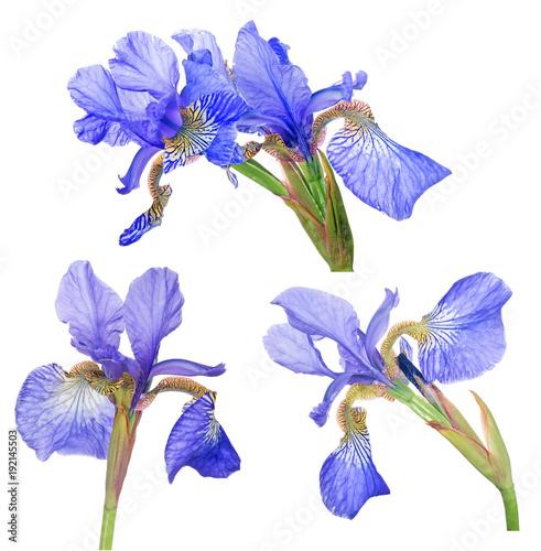 Aluminium Iris group of blue iris bloom isolated on white