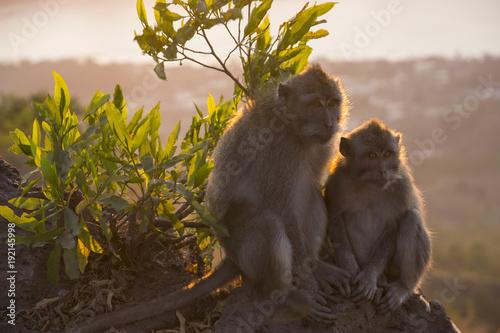 Foto Murales Affen Familie auf dem Mount Batur