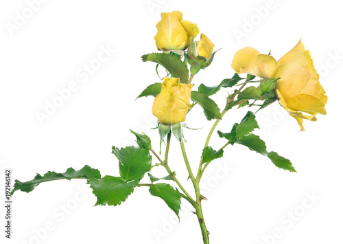 isolated bush rose flower with small yellow blooms