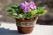 Bush of blooming violets in a pot on a Sunny day