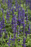 Closeup image of violet lavender flowers in the field in sunny day - 192156543