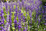 Closeup image of violet lavender flowers in the field in sunny day - 192156565
