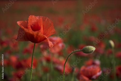 Fotobehang Klaprozen Opium poppy, botanical plant, ecology.
