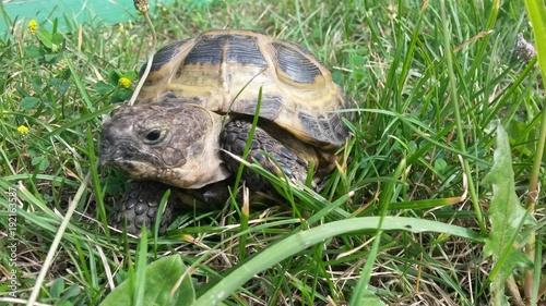 Aluminium Schildpad черепаха, природа, трава