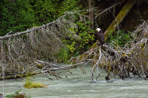 Fotobehang Eagle Bald Eagle sitting on a branch near Hyder, Alaska