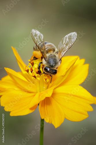 Fotobehang Bee Image of bee or honeybee on yellow flower collects nectar. Golden honeybee on flower pollen. Insect. Animal