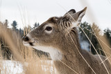 Young white tailed deer virginia cerf / chevreuil in long grass - 192181135