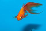 Goldfish in Aquarium - 192182383