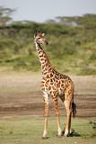 Giraffe - 192182392