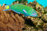Lyretail Wrasse in front of Coral Landscape