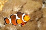 Clownfish - 192183596