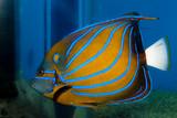Blue Ring Angelfish (Pomacanthus annularis) - 192189123