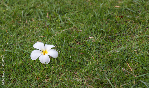 Fotobehang Plumeria Plumeria white flowers on green grass,background