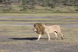 African lion Panthera patrolling territory - 192190353