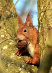 Eichhörnchen sitzt mit einer Nuss im Maul in einer Astgabel