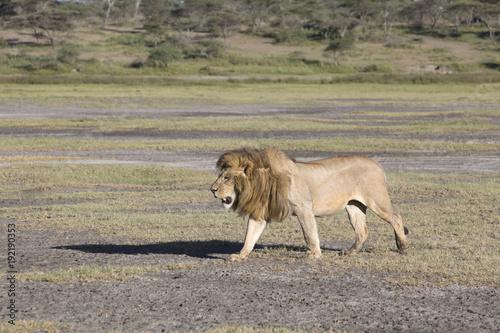 Fotobehang Lion African lion Panthera patrolling territory