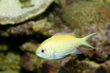 Blue Green Reef Chromis (Chromis viridis)