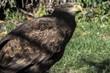 Iberian eagle