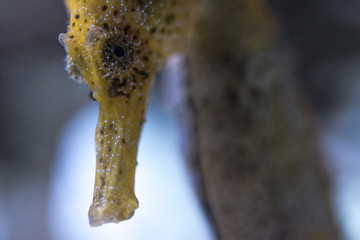 Detail of the head of a Caribbean seahorse