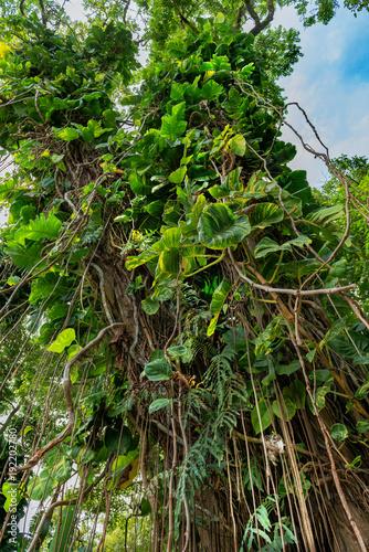 Foto Murales tropical vegetation along the road to hana maui hawaii