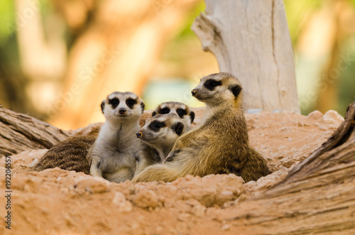 Meerkat Family keep close to each other