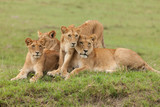 a pride of lions relaxing on the grasslands of the Maasai Mara