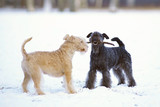Red and blue Lakeland Terrier dogs playing with a wooden stick on a snow in winter