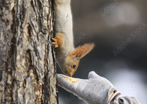 Foto Murales squirrel on a tree