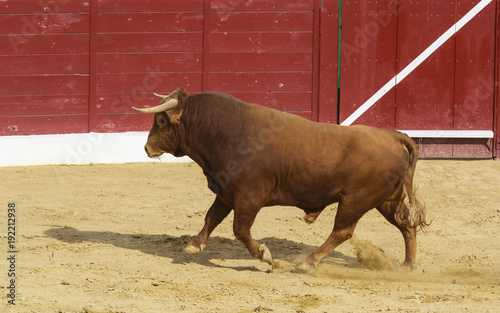 Toro de lidia en la arena de una plaza de toros. España