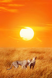 Cheetahs against sunset in the Serengeti National Park.  Africa. Tanzania.