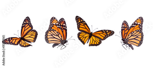 Fotobehang Vlinder Monarch butterfly composite isolated on white