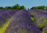 Lavender Field Provence - 192225586