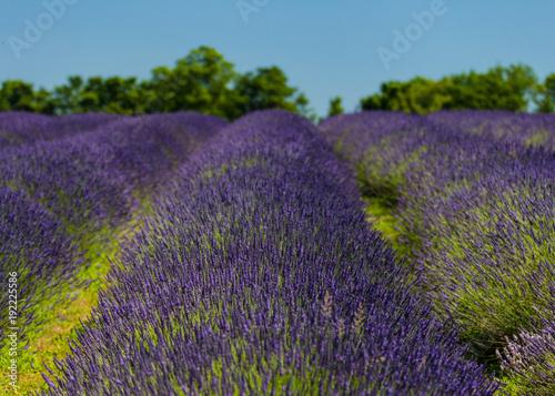 Foto op Canvas Aubergine Lavender Field Provence