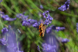 Lavender Field Provence Butterfly - 192225754