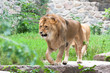 The king of animal lion
