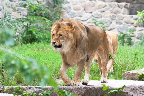 Fotobehang Lion The king of animal lion
