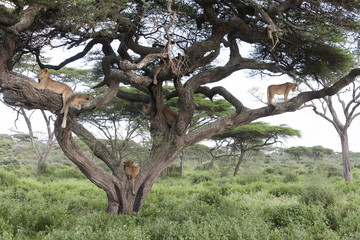 Tree climbing lions sleeping on tree branches