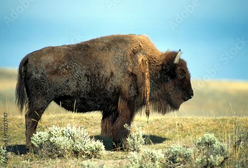Fotobehang Bison Bison against a blue sky