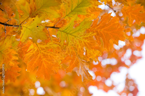 Tuinposter Herfst Autumn yellow maple leaves background