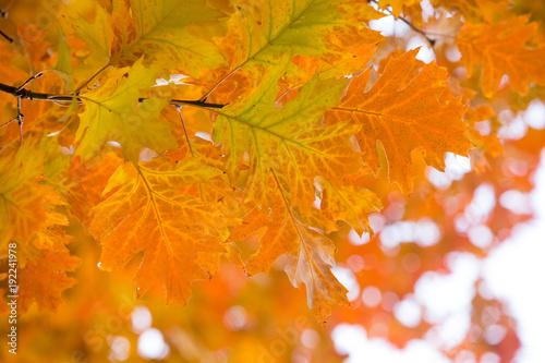 Fotobehang Herfst Autumn yellow maple leaves background