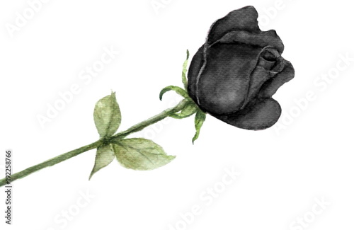watercolor single black rose isolated on white background © atichat