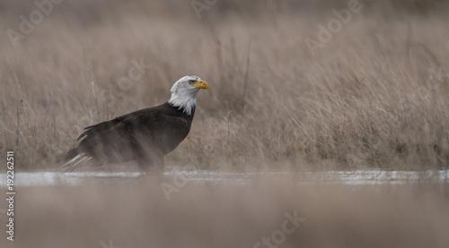 Aluminium Eagle Bald Eagle