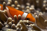 Clown-fish close up - 192265366