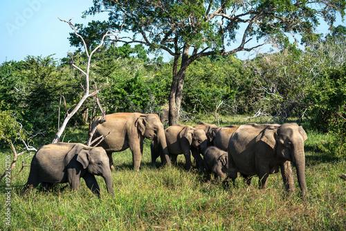 Fototapeta Group of elephants in wild