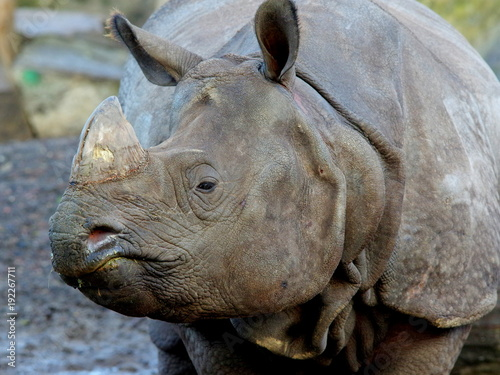 Fotobehang Neushoorn Bystre spojrzenie potężnego nosorożca