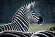 Portrait of a male Zebra